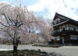 白馬村の桜